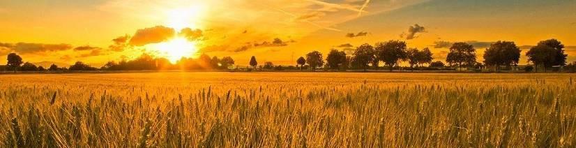 t_21e88661[immagini.4ever.eu] campo di grano, tramonto, nuvole, scia di condensazione 161359