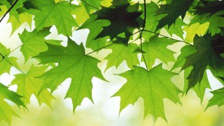 acero_foglie_verdi